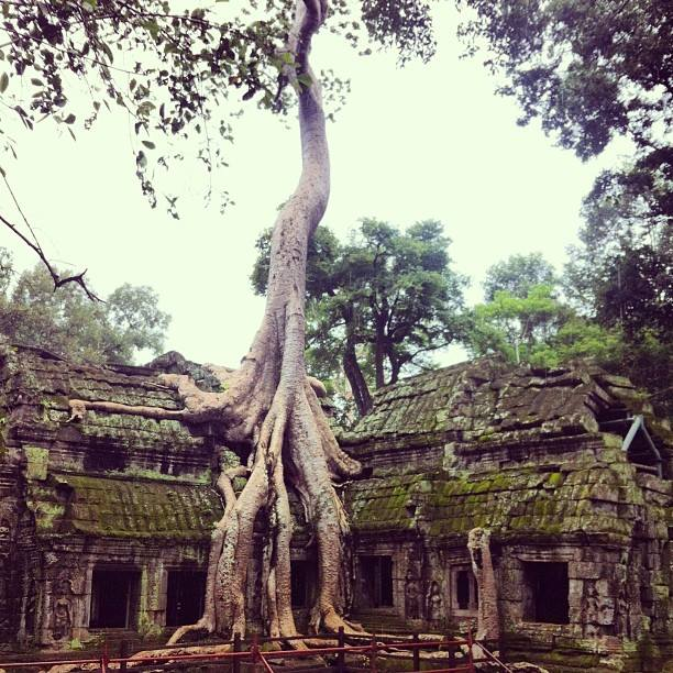 The famous Banyan Tree growing over one of Ta Phrom's buildings